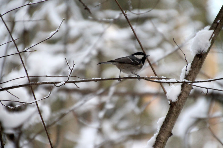 Animal Themes Animal Wildlife Animals In The Wild Bare Tree Beauty In Nature Bird Branch Close-up Day Nature No People One Animal Outdoors Perching Songbird  Sparrow Tree Winter Winter Forest Winter Trees
