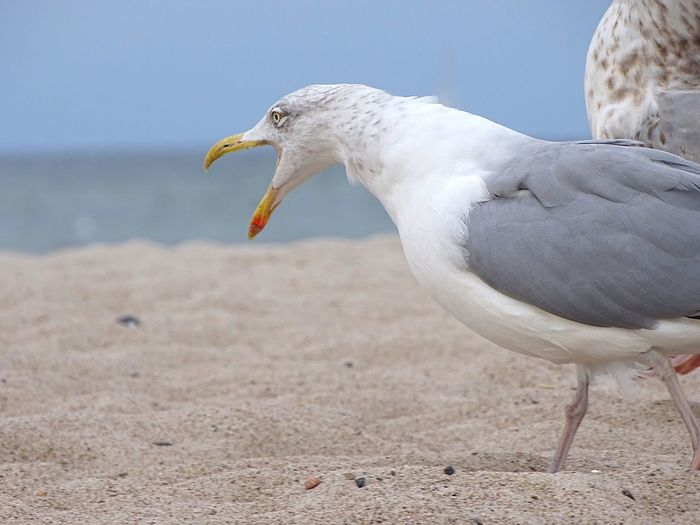 Close-up of angry seagull at beach