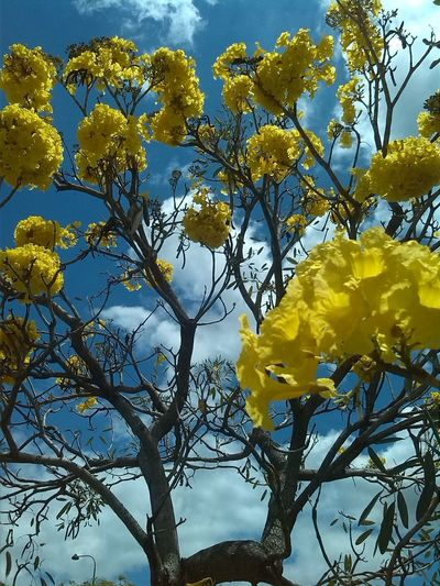 Beauty In Nature Blooming Blossom Close-up Day Flower Flower Head Fragility Freshness Growth Low Angle View Nature Outdoors Petal Plant Sky Springtime Tree Yellow