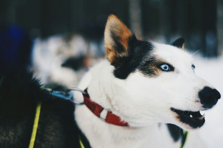 Close-Up Of Huskies