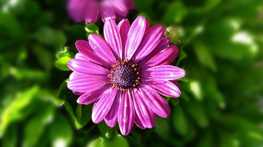 Flower Head Flower Eastern Purple Coneflower Photography Themes Pink Color Petal Outdoor Pursuit Nature Reserve Purple Osteospermum