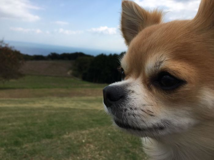 Domestic Animals Dog Pets One Animal Mammal Animal Themes Close-up Animal Head  Focus On Foreground Sky Day Puppy No People Outdoors Nature Niko Family Chihuahua