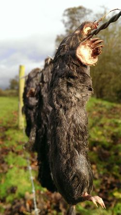 Dead Nature Mole Death & Decay 4 miles caught by the gamekeeper for the Lord of the manor to see . Sad But True