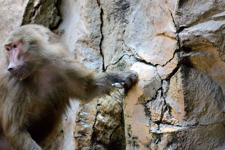 Wildlife and forestry EyeEm Baboon Drinking Eye Monkey Outdoors Outside Smart Animals