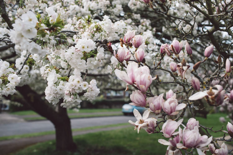 Flower Flowering Plant Plant Fragility Vulnerability  Freshness Growth Beauty In Nature Tree Pink Color Branch Petal Close-up Nature Blossom Day Springtime No People Focus On Foreground Flower Head Outdoors Cherry Blossom Cherry Tree Bunch Of Flowers Spring