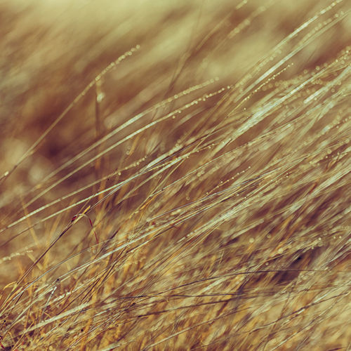 Grass Autumn Leaf Natural Plant Brown Background Stem Summer Season  Field Golden Farm Nature Macro Morning Drops Rain Texture Closeup Dew Water Ethiopia Africa Concept Outdoor Isolated Food Yellow Light Fresh Wallpaper Spring Detail Organic Growth Flora Agriculture Rural Foliage Meadow Grain Seed Blur Future Hope Broken Asian  Ripe Rice