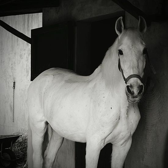 Portrait Of Horse Standing In Stable