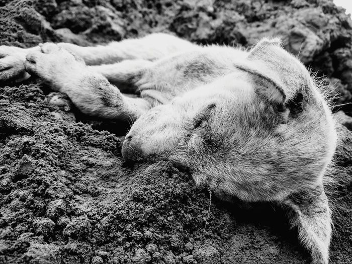 Close-up of sheep sleeping