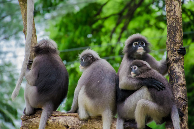 Dusky leaf monkey Dusky Leaf Monkey Monkey Animal Tree Forest Nature Sitting Animal Family Animal Wildlife Group Of Animals Animals In The Wild Leaf Dusky Young Animal Animal Themes