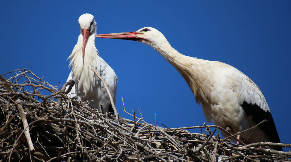 Bond Love Loving Relationship Affection Animal Themes Animal Wildlife Animals In The Wild Beak Beauty In Nature Bird Bird Nest Caring Clear Sky Close-up Day Friendship Nature No People Outdoors Preening Birds Stork Togetherness Two Animals White Stork