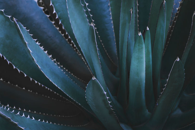 Agave plant in dark blue green tone color as abstract natural pattern background