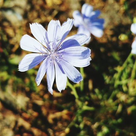 Beautiful chicory. More than just a prettty flower. Flower Fragility Freshness Flower Head Close-up Petal Growth Stem Beauty In Nature Focus On Foreground Single Flower Botany Nature Plant Blossom In Bloom Nature Outdoors Chicory Chicory Coffee Chicory Flower
