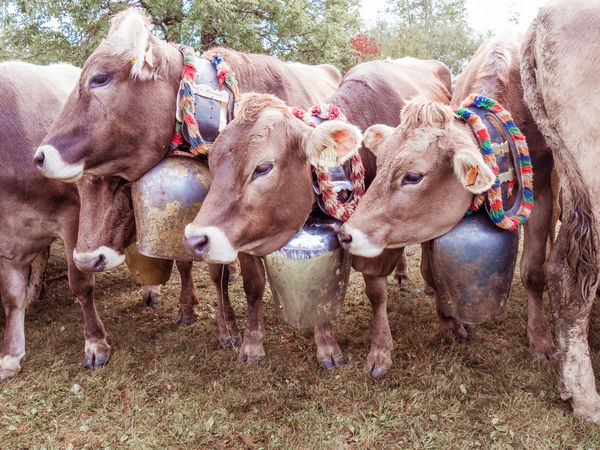 Agriculture Animal Themes Cattle Close-up Cow Day Domestic Animals Livestock Mammal No People Outdoors
