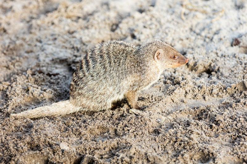 High Angle View Of Mongoose On Sand