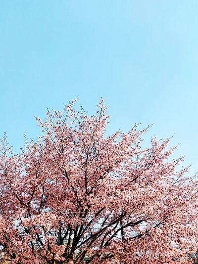 test Calm Idyllic Spring Has Arrived Sakura Sakura Blossom Sakura Trees Summer Spring Springtime Copy Space Pink Color Blossum Abstract Tranquility Clear Sky Sky Blooming Pollen