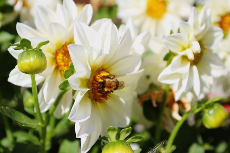 Close-up of bee on white flowers