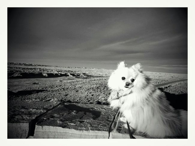 Petrifiedforest Arizona Nationalpark Dog Pomeranian