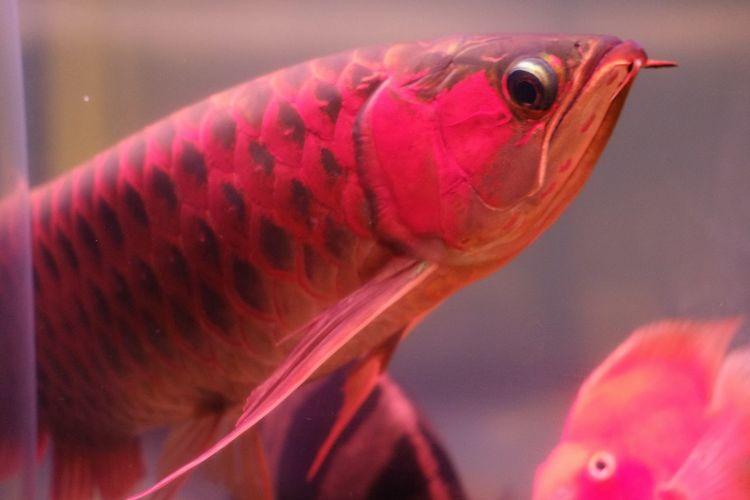X-T20 Fujifilm_xseries Fujifilm Arowana Fish Arowana Vertebrate One Animal Close-up Animal Wildlife No People Fish Red