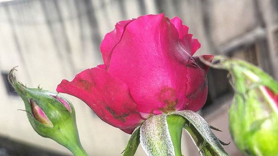Good morning Rosé Love Flower Fashion Art Pink Flowers Solo Wisudauns Moyflower Karanganyar Kadosolo Kadokaranganyar Hadiahsidangsolo Girl Kadopacar Kadoibu Bouquetmurah Bungasolo Selfie Instaflower Bouquetpacar Beautiful Kadolucu Flowerbouquet kadotemen likeforlike bucketflanel gold hadiahwisuda