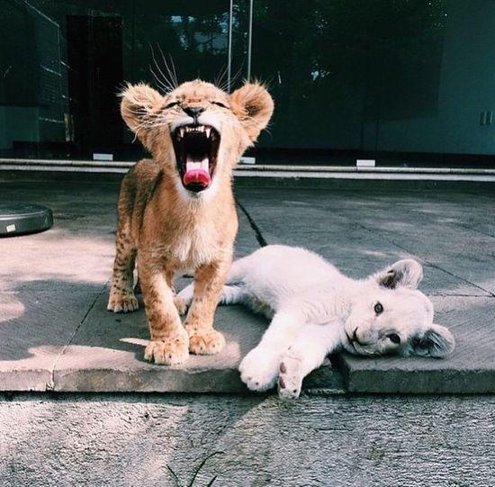 🐯 Tiger Love Tigers Tiger Animal Tumblr Photography Taking Photos EyeEm Nature Lover UmAmor Oamoraindaexiste
