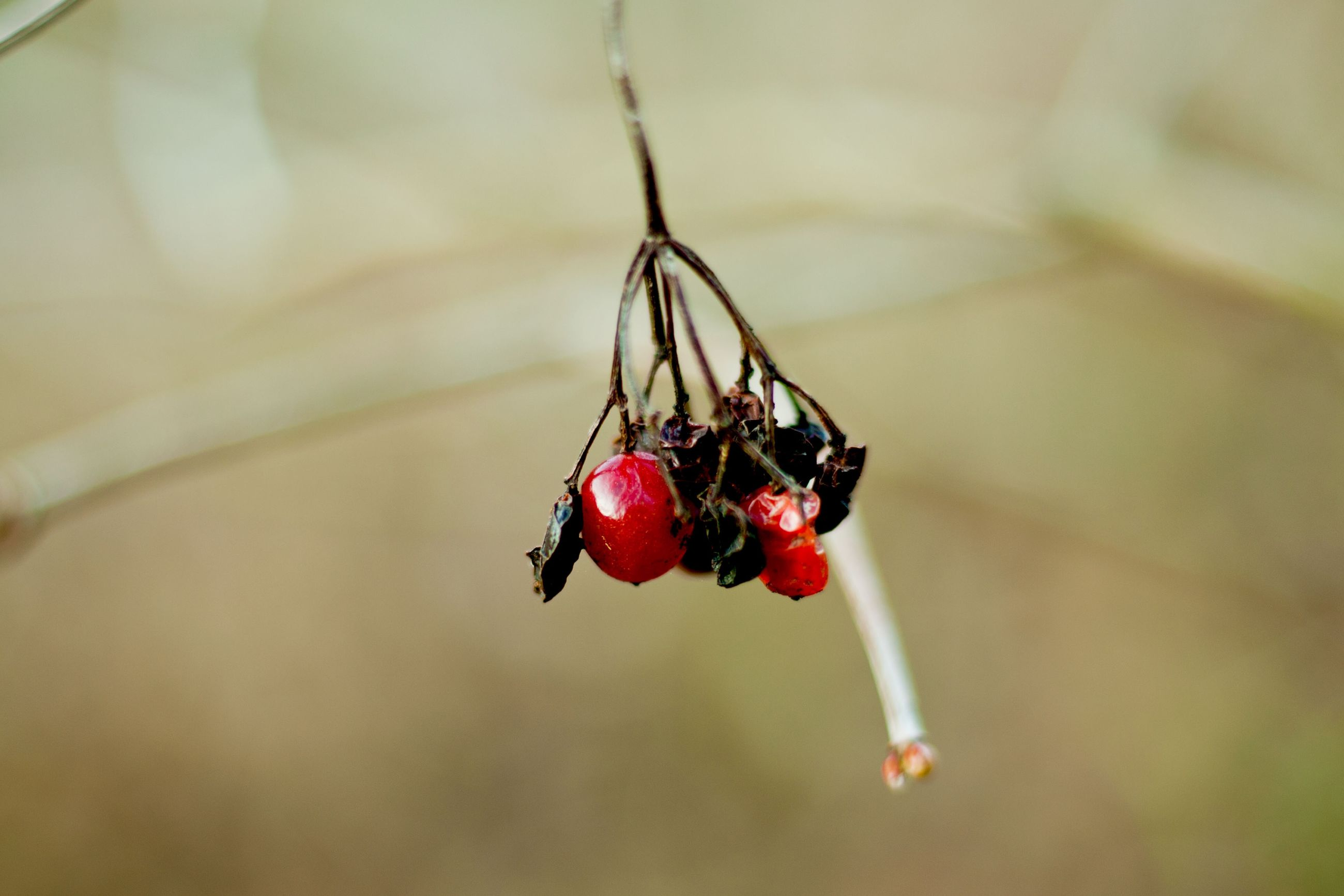 red, insect, animals in the wild, close-up, no people, animal themes, focus on foreground, day, nature, one animal, fruit, outdoors, beauty in nature