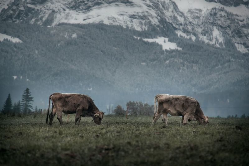 Two cows grazing in front of a mountain