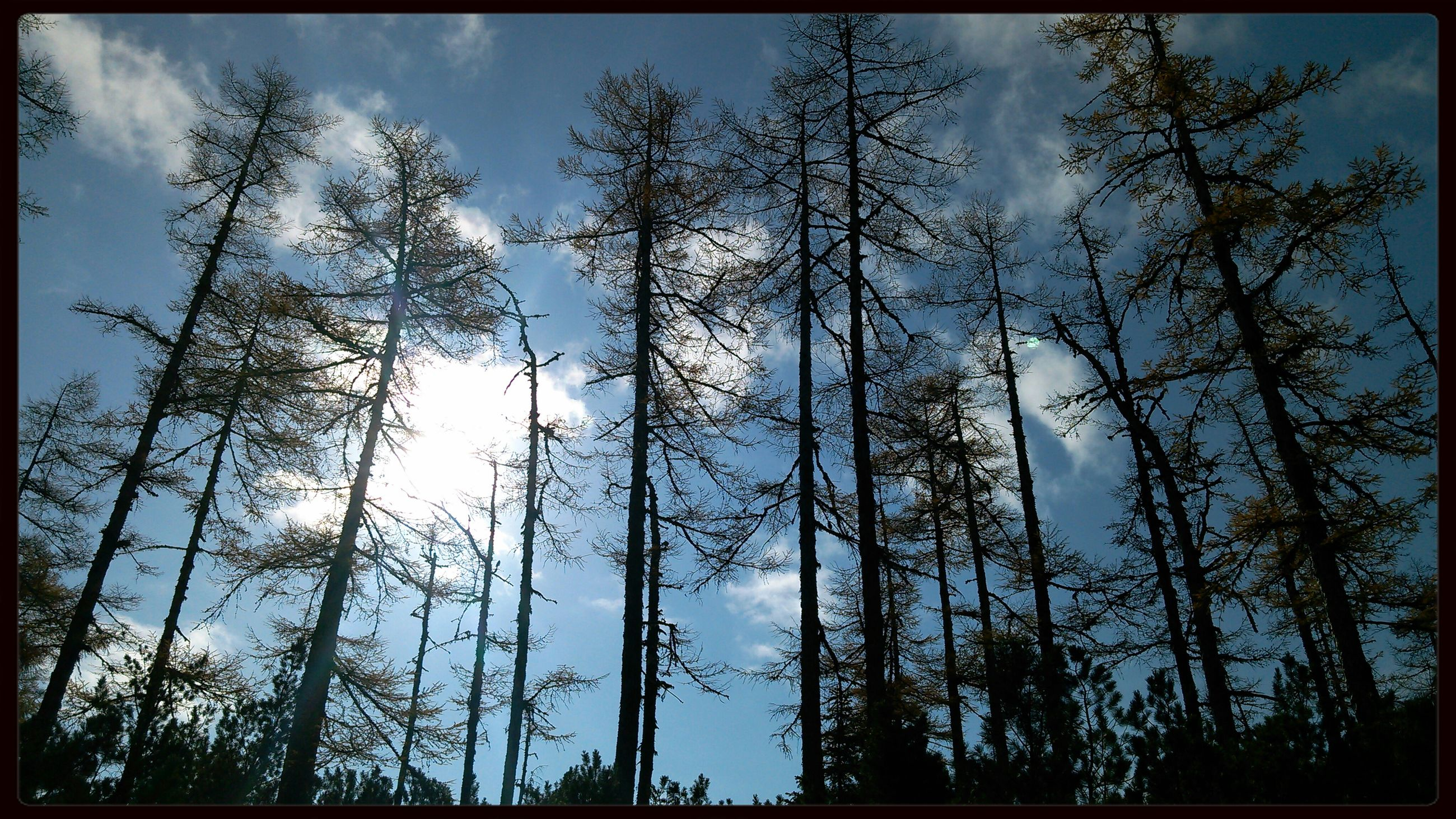 transfer print, low angle view, tree, auto post production filter, sky, tranquility, nature, growth, blue, branch, beauty in nature, day, tree trunk, scenics, outdoors, cloud, tranquil scene, sunlight, no people, panoramic