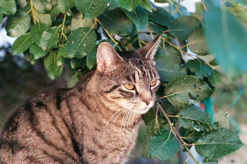 Tiger Cat EyeEm Selects Domestic Cat Leaf Plant One Animal Feline Animal Themes Domestic Animals Pets No People Outdoors Day Growth Nature Mammal Close-up