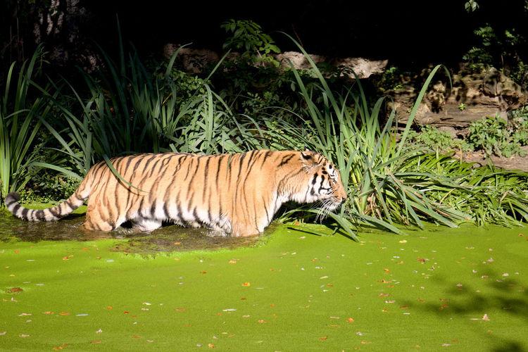 Kein Tiger im