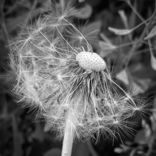 flower Bnwhungary Bnw Bnw_photografare Bnw_worldwide Blacknwhite Blackandwhite Blackandwhitephotography Bnw_photography Bnw_photo Bnwcapture Huaweiphotography Flower Head Flower Uncultivated Seed Softness Wildflower Dandelion Dandelion Seed Close-up Plant