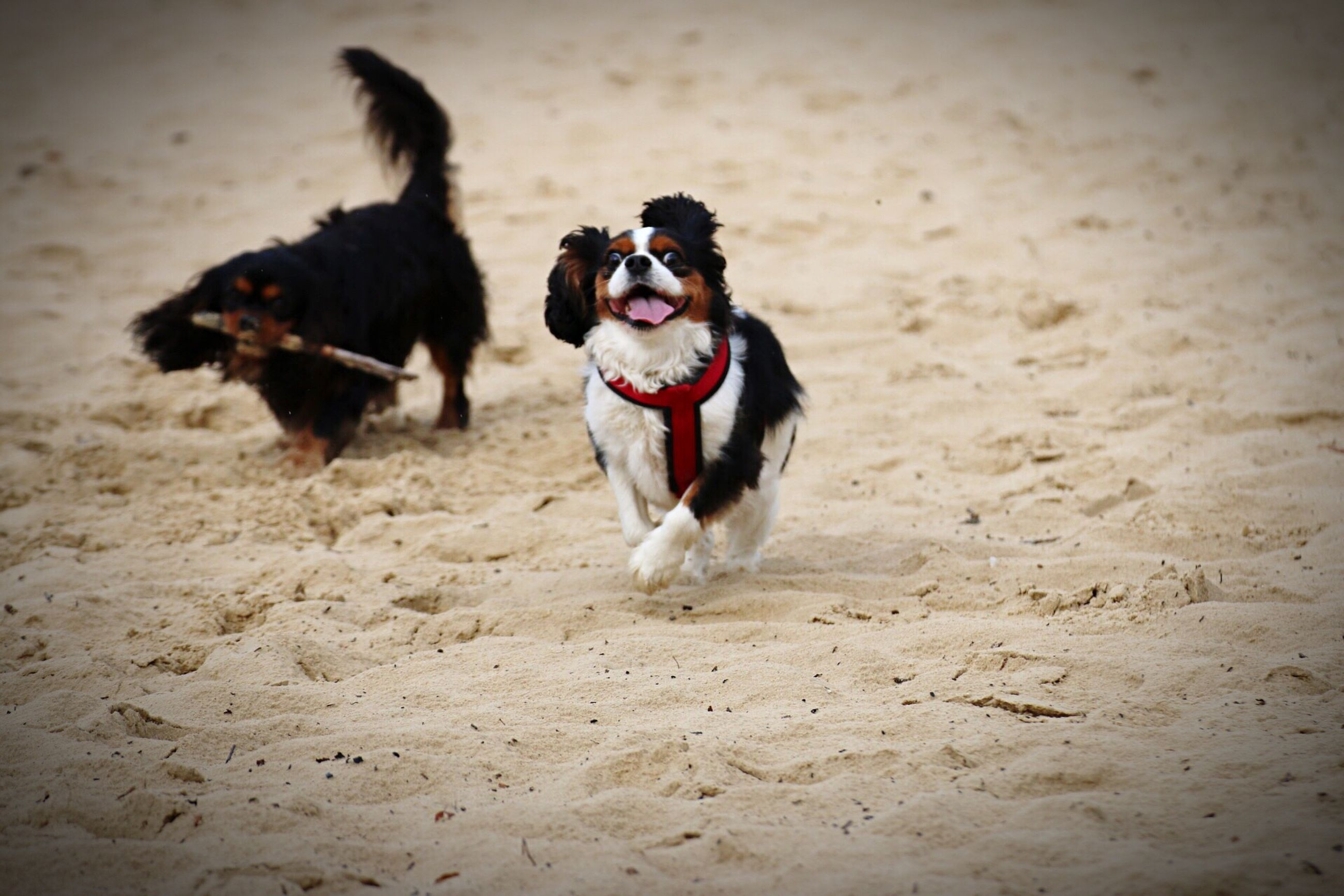 domestic animals, dog, pets, animal themes, sand, one animal, mammal, playing, beach, animal, zoology, loyalty, pampered pets, outdoors, panting, vacations, jack russell terrier, riverbank