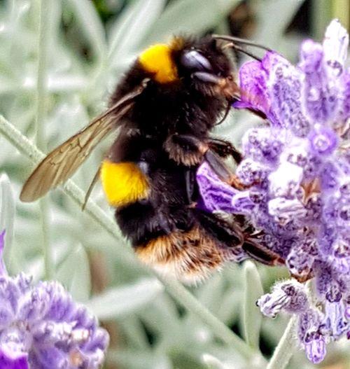 Bumble bee on