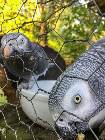 Charlie & Percy African Grey Parrot Attention African Grey Animal Themes Animal Wildlife Animals In Captivity Bird Branch Cage Close-up Curiosity No People Outdoors Parrot Parrots Parrots Of Eyeem