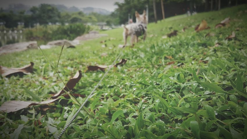 Distance Looking At Things Rope Yorkshire Terrier Ocha Green Color Outdoors Day Grass Field