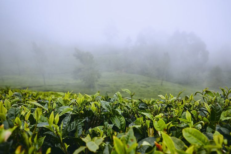 Tea plantations in clouds. Agriculture landscape near Haputale in Sri Lanka. Plant Growth Environment Landscape Nature No People Agriculture Tea Tea Crop Tea Plantation  Plantation Sri Lanka Mysterious Fog Weather Clouds Green Hill Moody Day Travel Destinations Countryside Rural Scene Crop  Tea Leaves