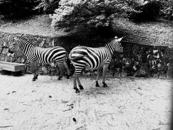 Zebre Stresa First Eyeem Photo