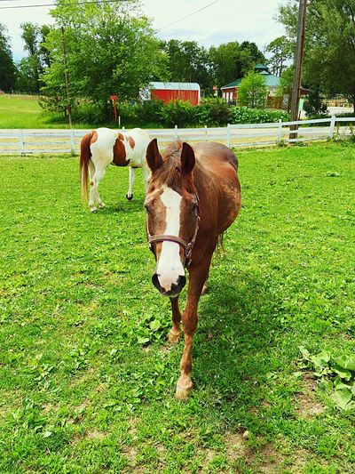 Horses Farm Grazing Summer Lunch Family Pets Horse IPhoneography Photography Photooftheday Equine Equestrian Corral Country Streetsboro Ohio Sugar Mister Iphonephotography