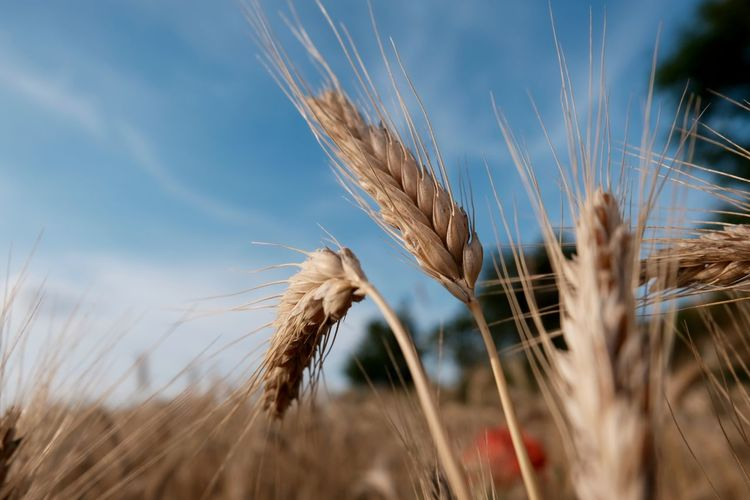 Crop  Cereal Plant Agriculture Wheat Rural Scene Plant Growth Nature Close-up Field Land Day Beauty In Nature Farm
