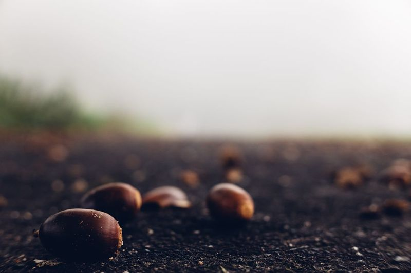 Acorn on the ground Mount Daisen Totori Foggy Fog Tree Japan Nature Photography Nature Acorn Tree Acorns Acorn Food And Drink Food No People Focus On Foreground Close-up Brown Nature Selective Focus Land Outdoors Still Life
