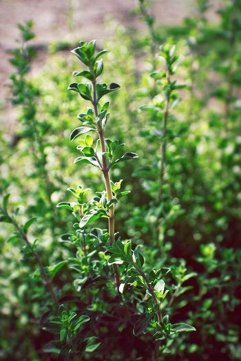 Marjoram Essentialoils Garden Herbs Fragrance Natural