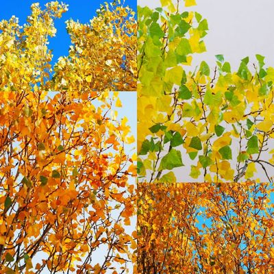 Collage Colors Variation Autumn colors Tree Multi Colored Leaf Plant Part Autumn Backgrounds Yellow Textured  Change