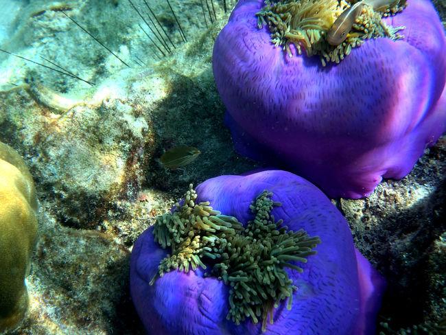 Anemone UnderSea Selective Focus Sea Life Water Tourism Clown Fish Underwater Under Water Photography Under Water_collection Anemon Anemones Nature's Diversities