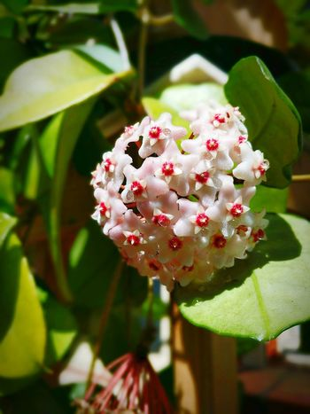 Something special Flower Nature Growth Plant Fragility Close-up Freshness Flower Head Leaf Beauty In Nature Outdoors Blossom No People Day Summer Pop Beauty In Nature Petal Bloom Pollen Secretions Christcrown Hoya Carnosa Wax Flower