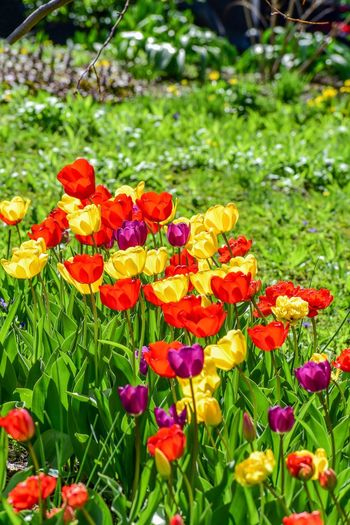 Tulips Tulip Tulip Plant Flowering Plant Flower Growth Vulnerability  Fragility Freshness Beauty In Nature Multi Colored Day Flower Head Close-up No People Inflorescence Land Nature Grass Green Color Petal Outdoors