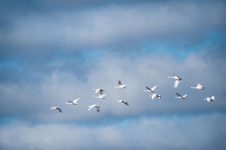 Swan gaggle flying against blue sky Against The Sky Animal Themes Animals In The Wild Beauty In Nature Bird Cloud Cloud - Sky Day Flock Of Birds Flying Flying Bird Gaggle Of Geese Group Lot Low Angle View Many Mid-air Nature Outdoors Sky Swan