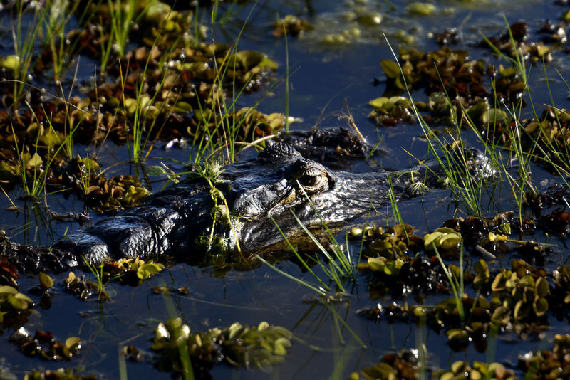 Crocodile Crocodiles Attention Looking At Camera Stealth Swamp Animal Animal Eye Animal Head  Animal Themes Animal Wildlife Animals In The Wild Argentina Crocodile Look Looking Nature Reptile Stealth Swamp Water Wetland Yacare Animal Head  River
