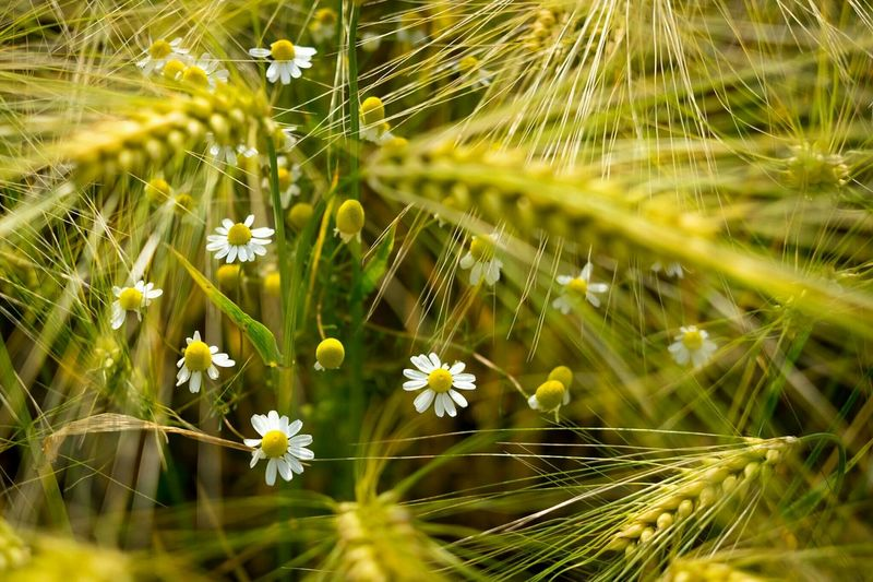 Close-up of wheat daisies on farm