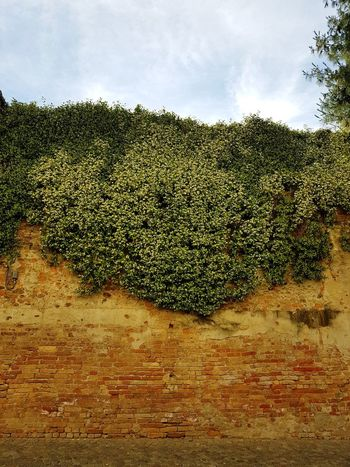 Agriculture Outdoors Nature Growth Day No People Rural Scene Sky Tree Old Wall Brick Wall Jasmine In Bloom Wall And Plant Climbing Jasmine Piedmont Italy Langhe Cherasco