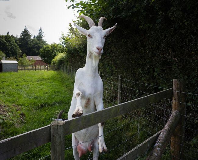 Animal Fence Domestic Animals Standing Goat Herbivorous Outdoors Livestock
