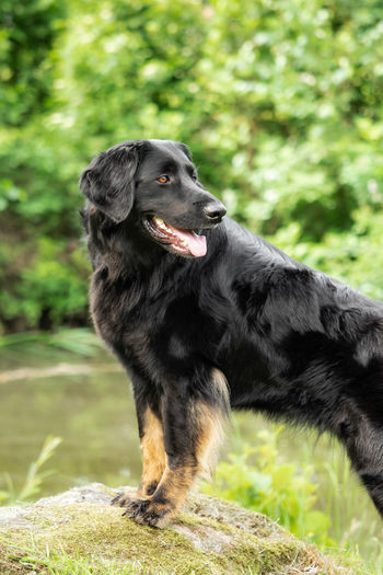 Animal Black Breed Dog Domestic Family Friend Friendship Fur Grass Green Happy Hovawart Mammal Natural Obedient Obedient Dog Outdoor Park Pet Playful Portrait Purebred